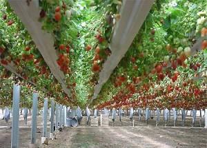 Бизнес по выращиванию клубники