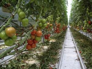 Как правильно выращивать в теплице