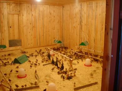 Как вырастить фазанов в домашних условиях